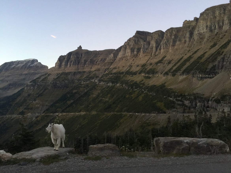 0915_mountaingoat